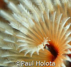 Fine detail of a Spiral-gilled worm. Bonaire. Canon XTi 1... by Paul Holota